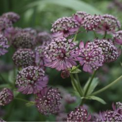 Астранция гибридная Star of Beauty (Astrantia hybride Star of Beauty)