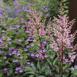 Астильба Look at Me (Astilbe Look at Me)